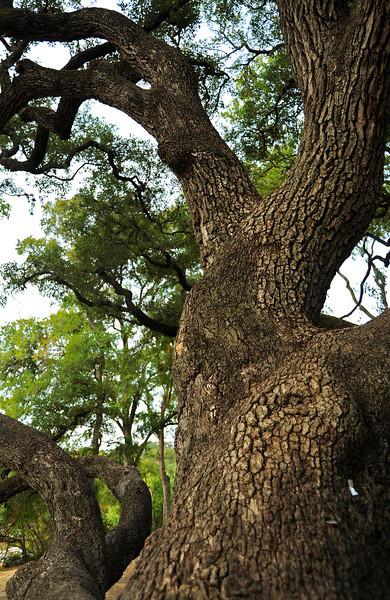 Live oak in Custers Meadow