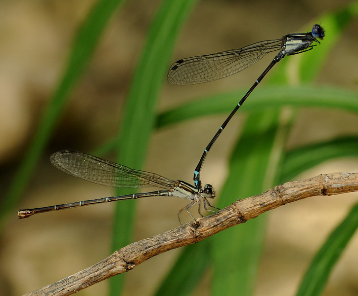 Mating dusky dancers in Shoal Creek