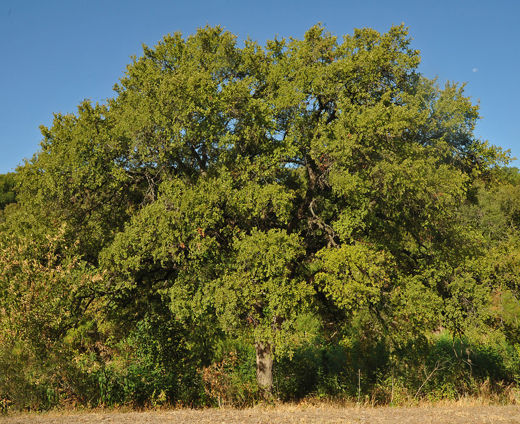 Cedar elm along Lamar north of Gaston bridge