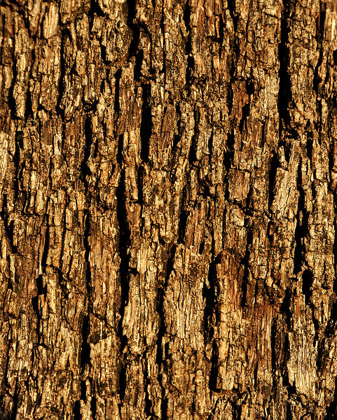 Oak bark in Pease Park