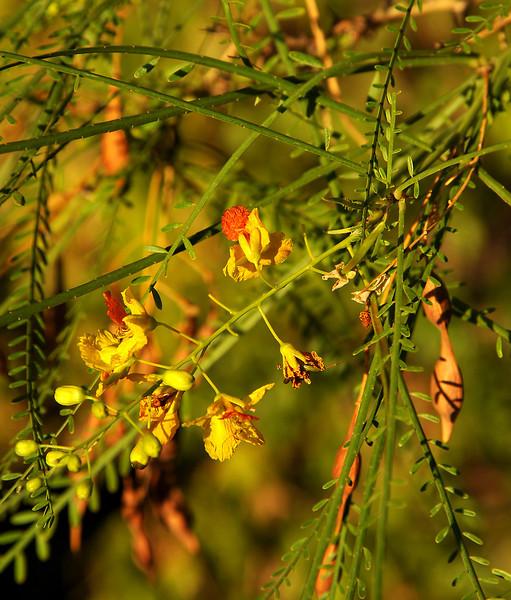 Mesquite flower on Shoal Creek