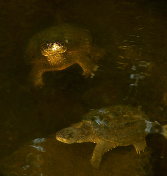 Common snapping turtles in Shoal Creek