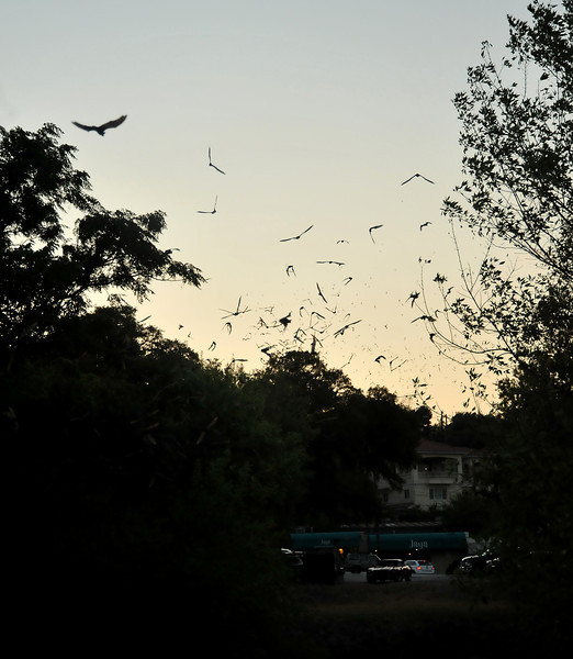 Mexican free-tailed bats emerging from 9th St Bridge
