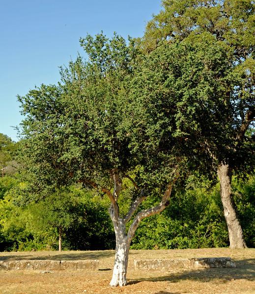 Texas persimmon in Pease Park near splash pad
