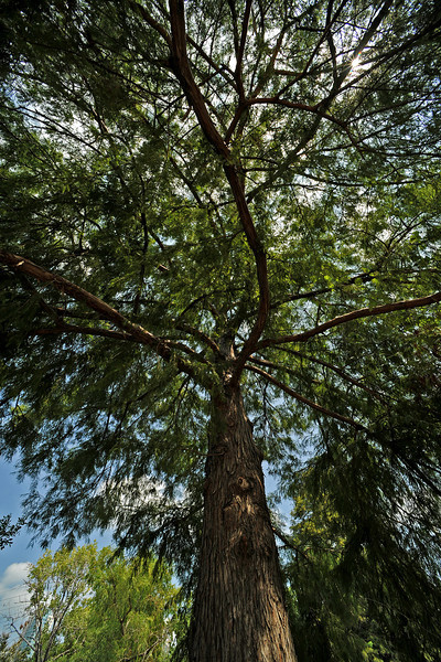 Bald cypress on Lady Bird Lake near Shoal Creek