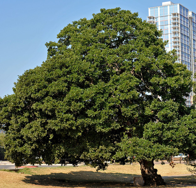 Old oak in Palm Park