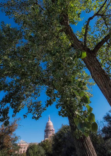 Cottonwood (Populus deltoides)