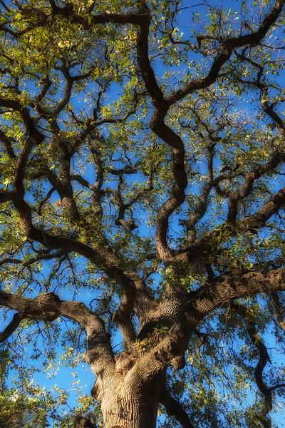 Wooldridge oak (Quercus stellata)