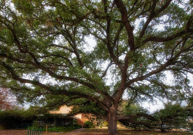 Lacey oak (Quercus laceyi