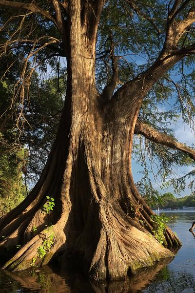 Bald cypress (Taxodium distichum)