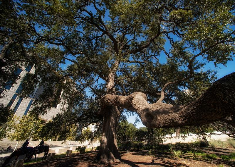 Auction Oaks (Quercus virginiana/fusiformis)