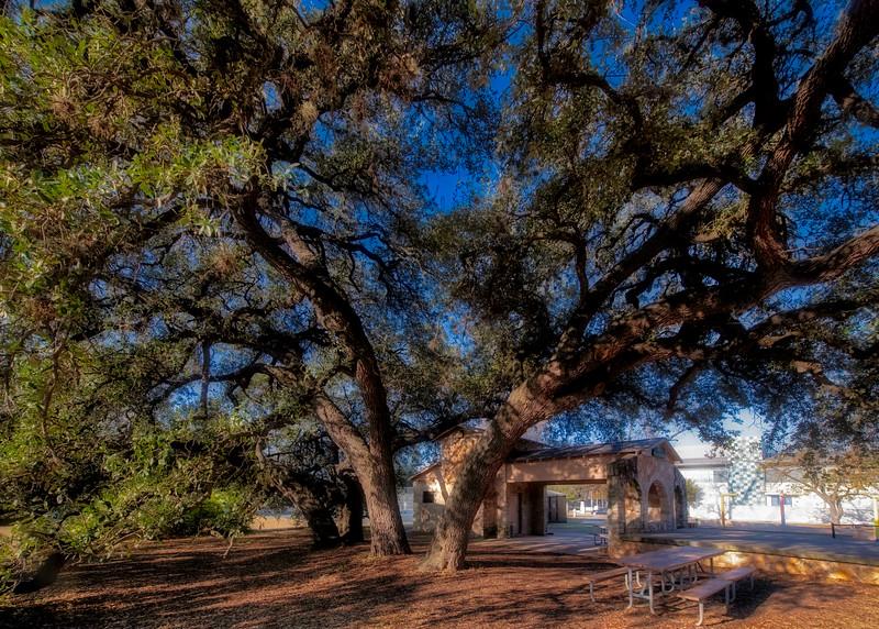 Live oak (Quercus virginiana/fusiformis)