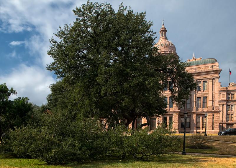 Texas State Capitol live oak (Quercus virginiana/fusiformis)