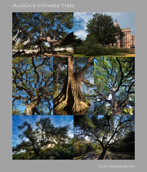 Austin Witness Trees