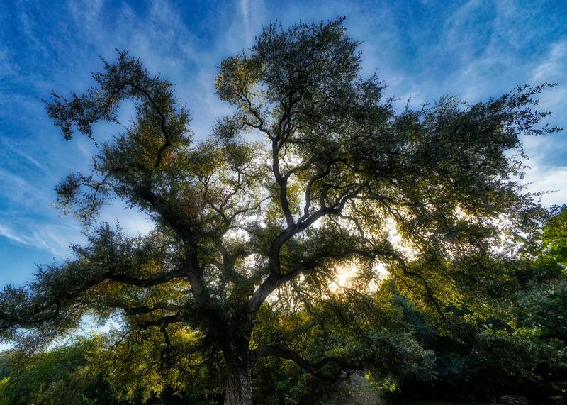 Custer's oak (Quercus virginiana/fusiformis)