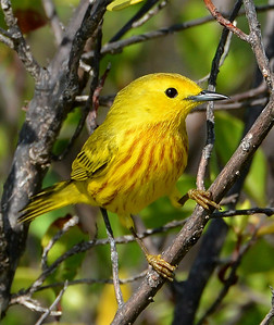 Yellow warbler (Setophaga petechia), Antigua, West Indies