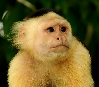 Curious White-faced Capuchin on the Panama Canal