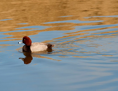 Drake Redhead, Bolsa Chica, California
