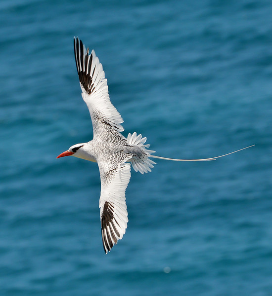Red-billed tropicbird, Great Bird Island, Antigua, West Indies