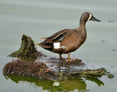 Drake Blue-winged Teal in Austin, Texas