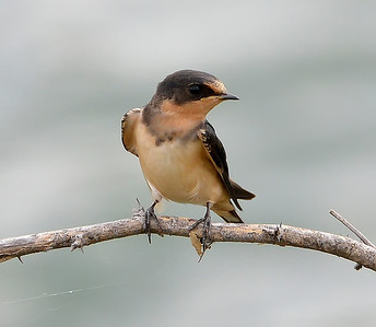Barn Swallow in Austin, Texas