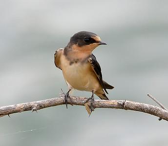 Barn Swallow in Austin, Texas