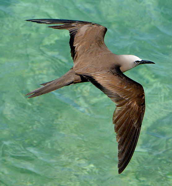 Brown noddy (Anous stolidus), Antigua, West Indies