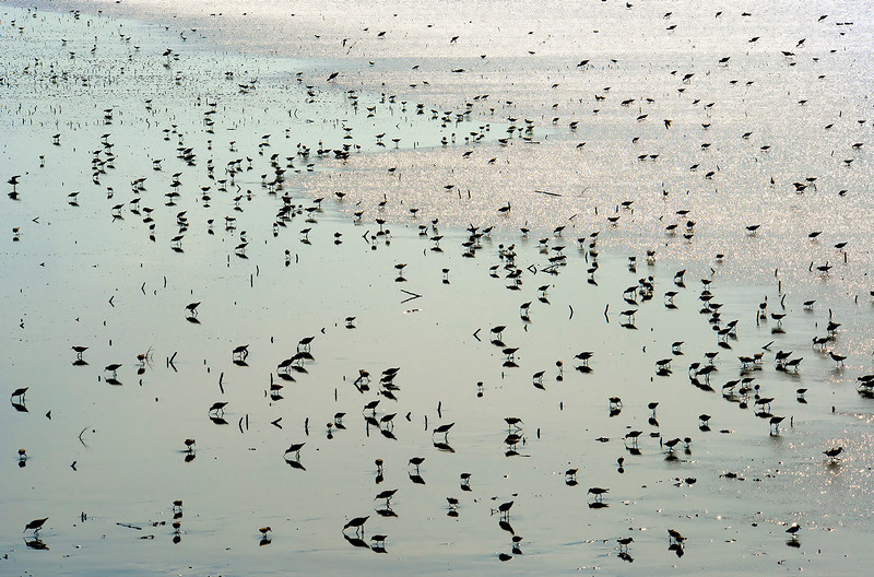 Shorebirds at Cheyenne Bottoms, Kansas