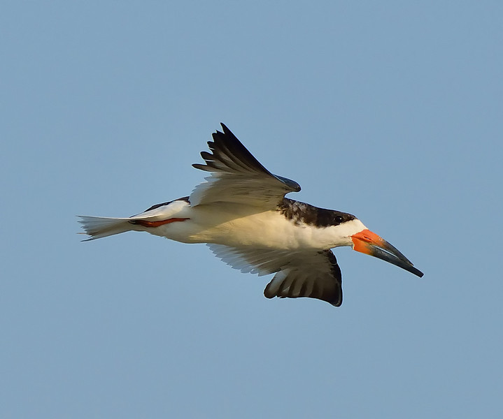 Black Skimmer in flight in Galveston, Texas