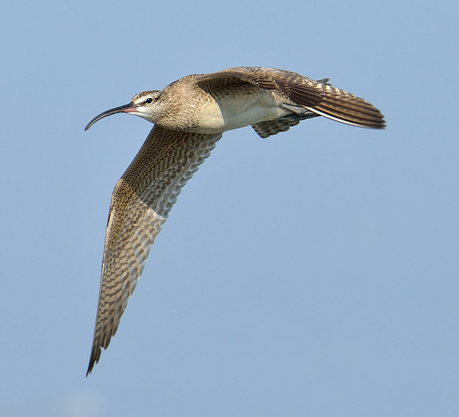 Whimbrel in flight in Galveston, Texas