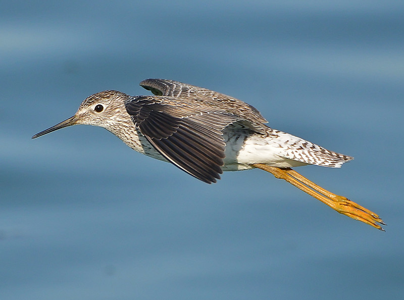 Lesser Yellowlegs in Flight, Austin, Texas