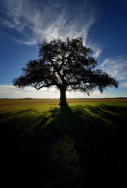 One Lone Oak