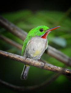 Broad-billed Tody in the Dominican Republic