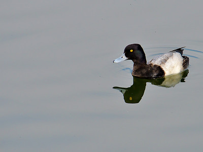 Lesser Scaup on Lady Bird Lake