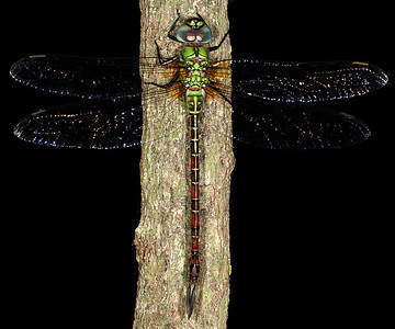 Blue-faced Darner in South Texas