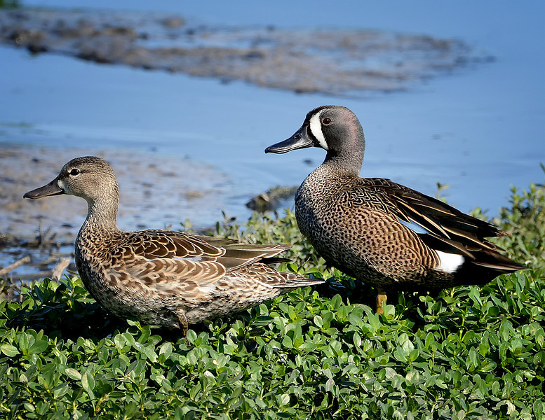 Pair of Blue-winged Teal, Austin, Texas