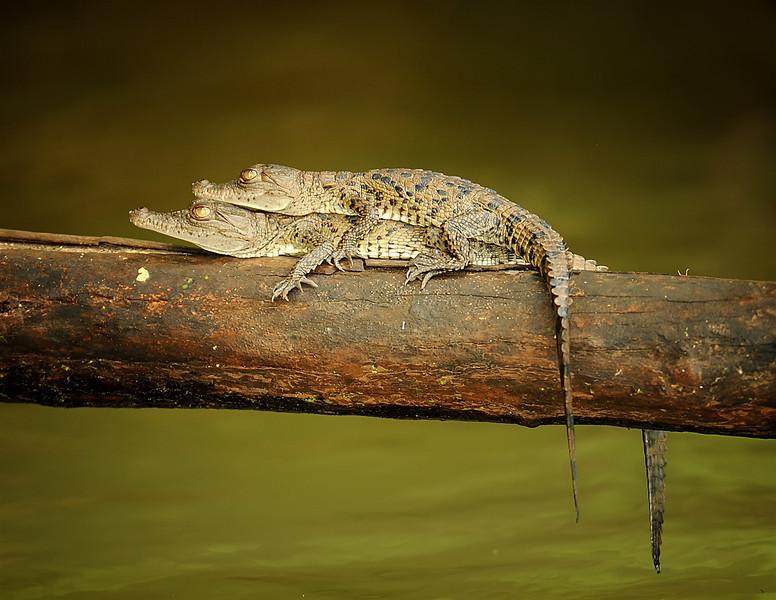 Young Crocodiles, Panama Canal, Panama