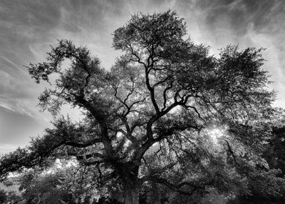 Custer's Oak in Austin's Pease Park