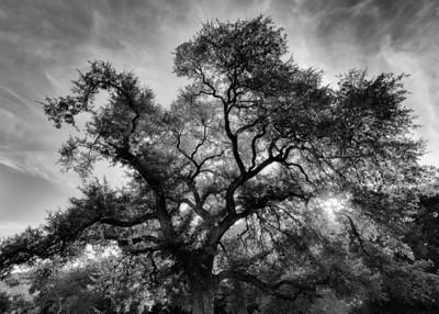 Custer's Oak in Austin's Pease Park