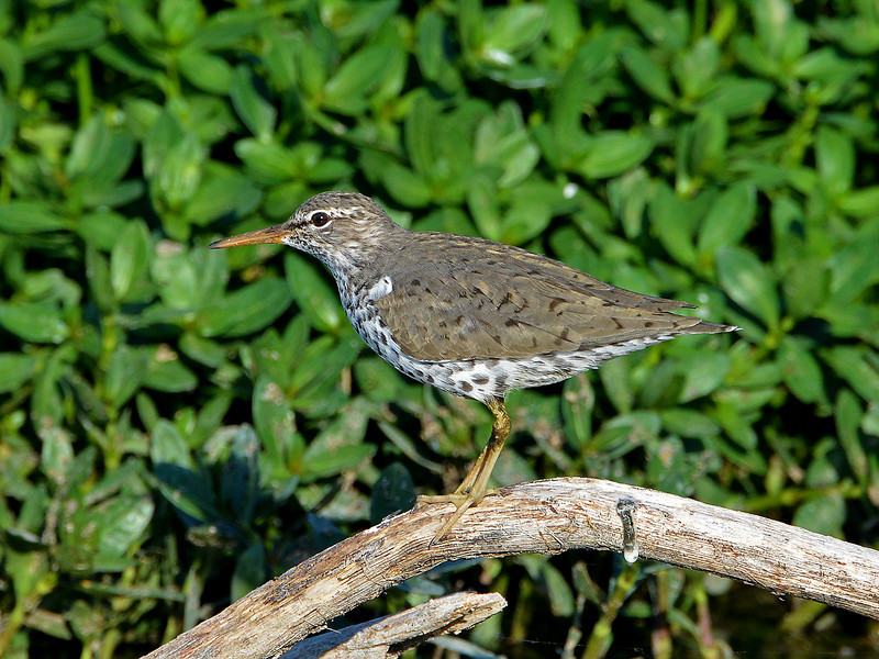 Spotted Sandpiper in Austin, Texas