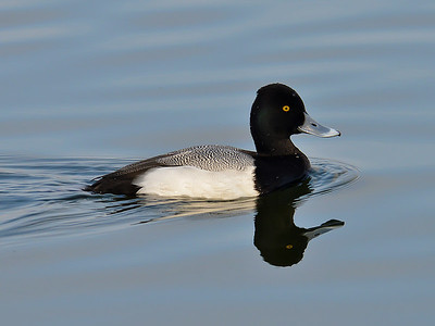 Lesser Scaup in Lady Bird Lake