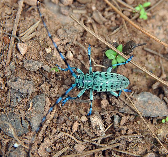 Longhorn beetle, Weibao Mountain, Yunnan, China