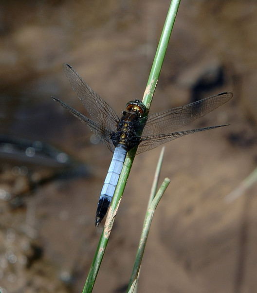 Orthetrum triangulare, Weibao Mountain, Yunnan, China