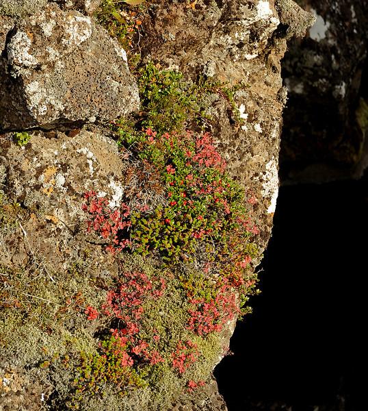 Bearberry (Arctostaphylos uva-ursi), þingvellir NP, Iceland, Sep 2010