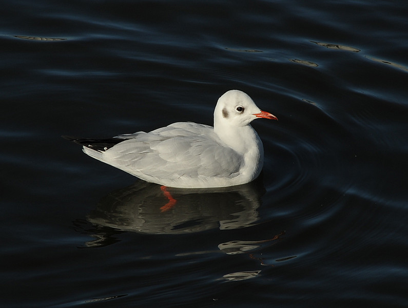 Black-headed gull, Reykjavik, Iceland, Sep 2010