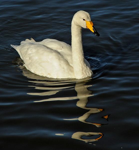 Whooper swan, Reykjavik, Iceland, Sep 2010