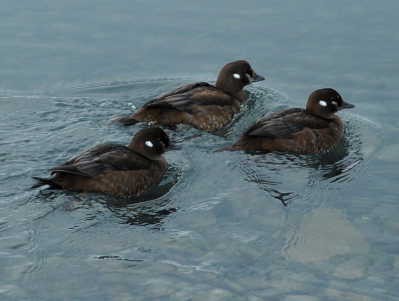 Young harlequin ducks, Jokulsarlon glacial lagoon, Iceland, Sep 2010