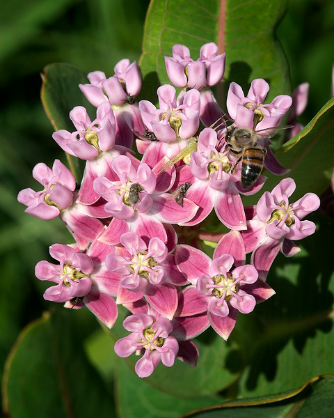 Sullivant milkweed