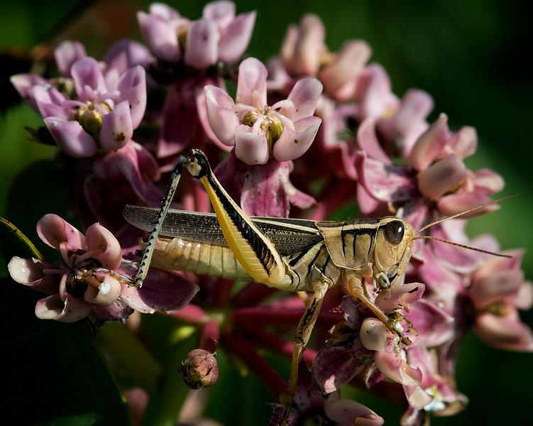 Two-sriped grasshopper