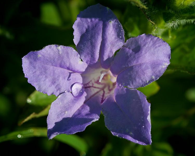 Fringe-leaf ruellia